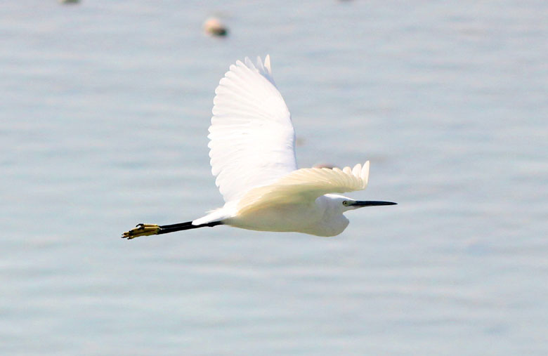 Waterbirds of India